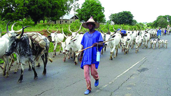 Lagos Anti-Open Grazing Bill: It's Expensive To Breed Cattle In One Place ― Miyetti Allah